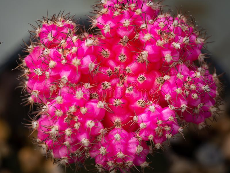 Pink Gymnocalycium Cactus Growing royalty free stock image