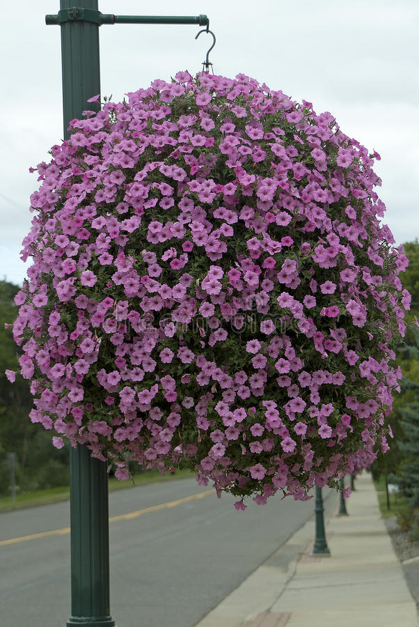 Pink Hanging Basket stock images
