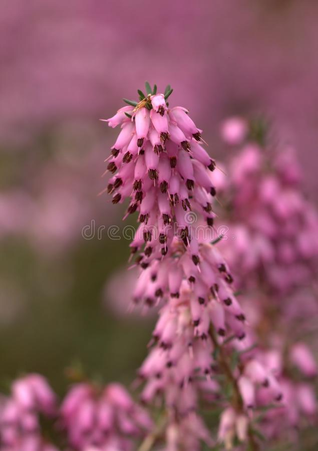 Pink heath. With wonderful bokeh stock image