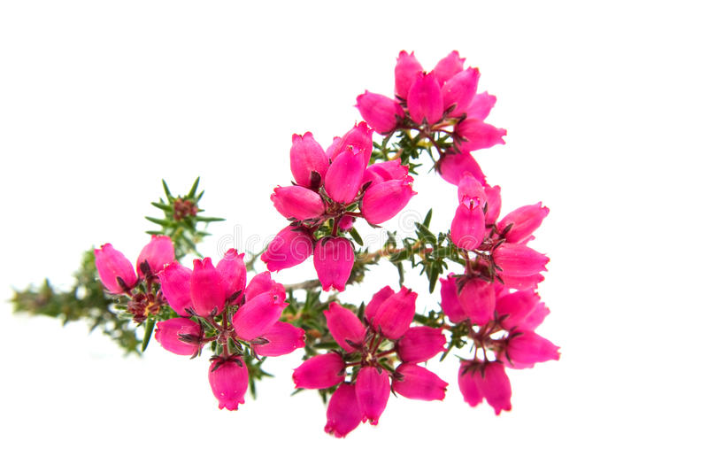 Pink Heather flower royalty free stock photo