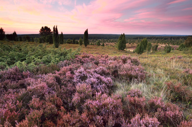 Pink heather flowers on hills at sunset. Wilsede, Luneburger heide, Germany royalty free stock photography