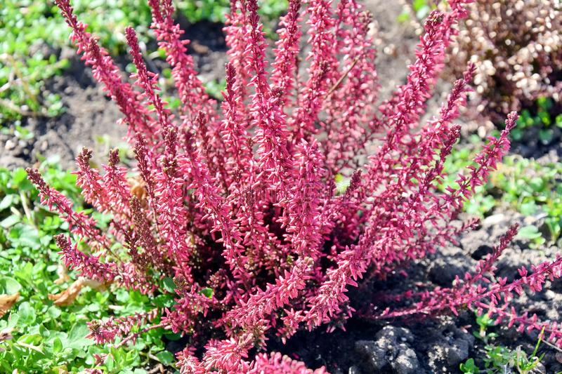 Pink Heather at Home Garden royalty free stock photo