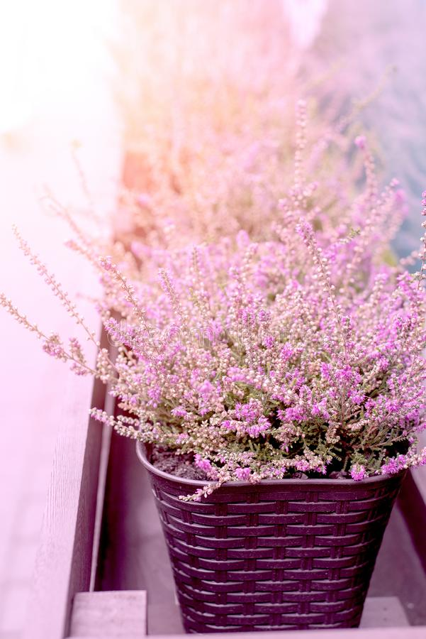 Pink Heather Planted In Wicker Pot On The Street With Sunlight. Closeup stock images