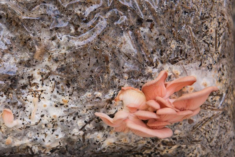 Pink heirloom oyster mushrooms Growing royalty free stock photography