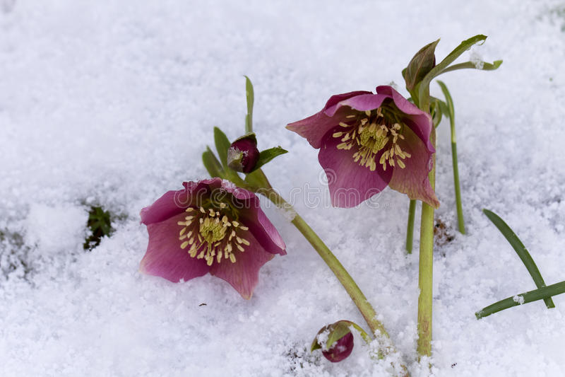 Pink Hellebore (Helleborus niger) or Christmas Rose flowers in their natural habitat stock images