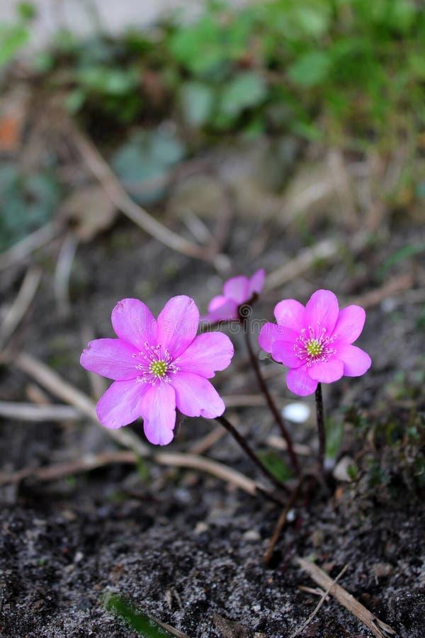 Pink hepatica stock images