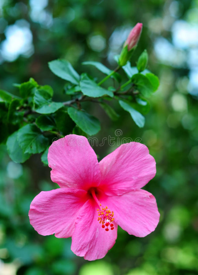 Pink Hibiscus. Tropical pink hibiscus in the garden royalty free stock photo