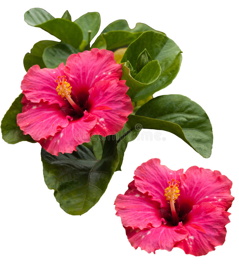 Free Pink Hibiscus Stock Photography - 17243922