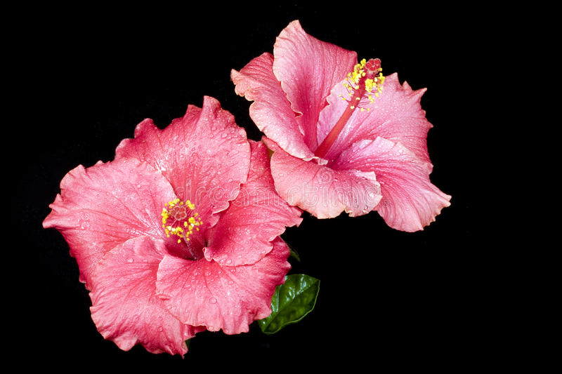 Pink Hibiscus. Two pink hibiscus flowers covered with dew on black background. Hibiscus is a genus of flowering plants in the mallow family, Malvaceae. It is royalty free stock photo