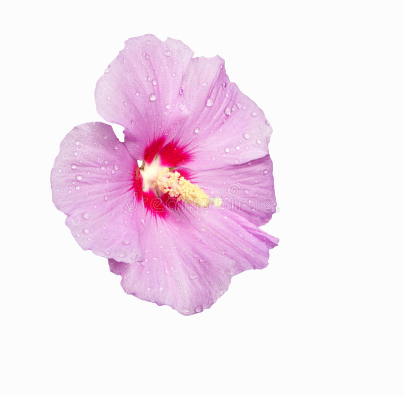 Pink Hibiscus. Flower isolated on white stock photos