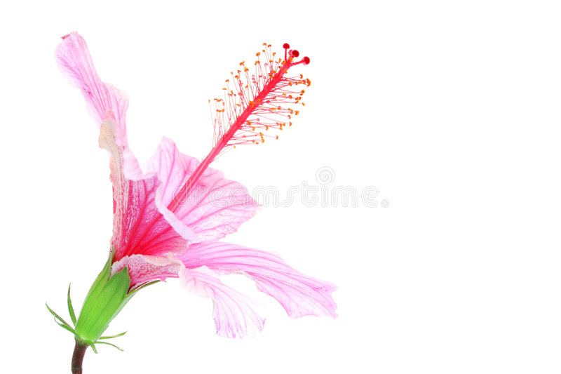 Pink Hibiscus. Isolated on white royalty free stock image