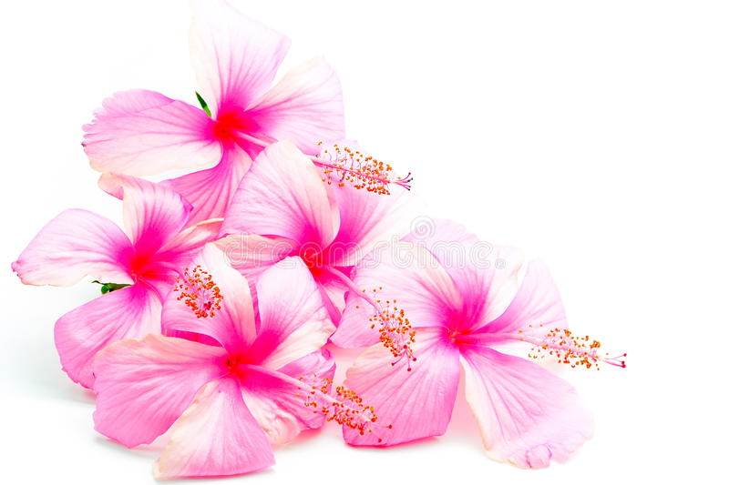 Pink Hibiscus. Colorful pink Hibiscus flower, isolated on a white background stock image