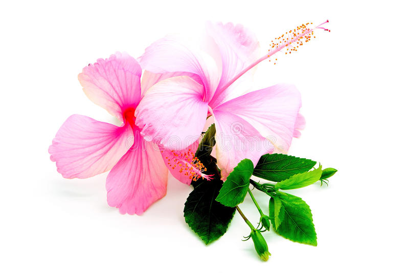 Pink Hibiscus. Colorful pink Hibiscus flower, isolated on a white background royalty free stock images