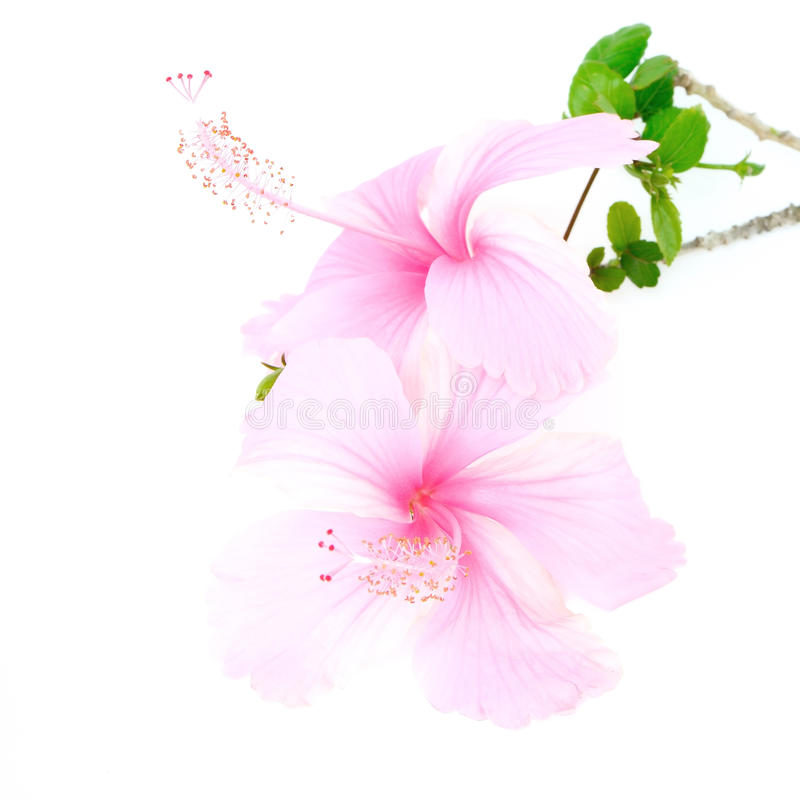 Pink Hibiscus. Colorful pink flower, Hibiscus isolated on white background royalty free stock photos