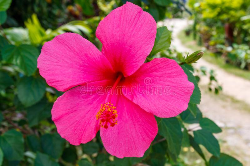 Pink Hibiscus flower. On bluured backgrouns stock photo