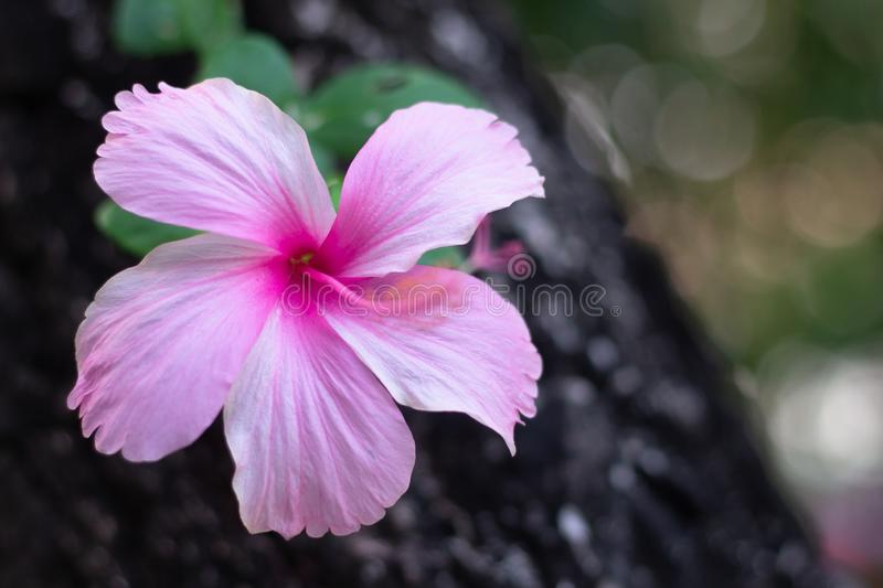 Pink Hibiscus flower on bracnh. With copy space for text royalty free stock images