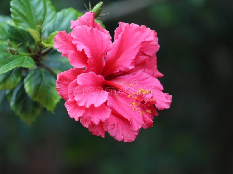 Pink hibiscus flower in a garden in spring season. Flora, floral, nature, natural, petal, color, colorful, pistil, stamen, leaf, botanical, botany, beautiful royalty free stock photos