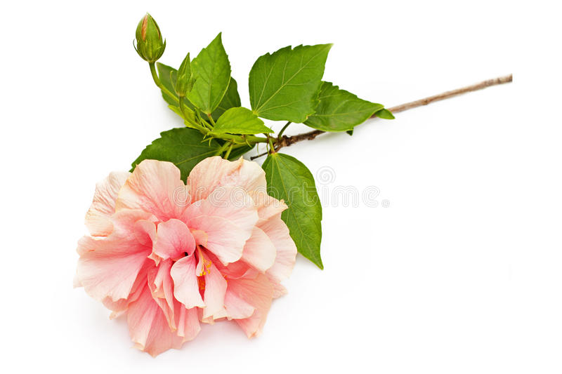 Pink hibiscus flower with green leaves isolated on white royalty free stock image