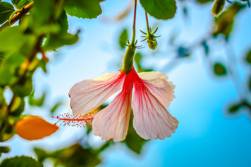 Pink Hibiscus flower. Picture close-up pink hibiscus flower or Chinese rose with cloud and blue sky background royalty free stock image