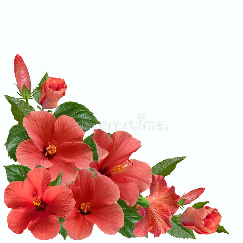 Pink hibiscus flowers and buds. Bright large flowers and buds of pink hibiscus, angular vignette composition isolated on white background stock photos