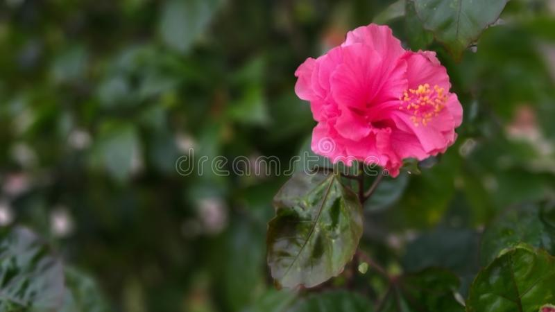 Pink hibiscus flowers burst into yellow blooms. Pink hibiscus flowers in yellow blooms are blooming, laoif flowers bloom on the dust or trees can reach 4 meters stock images