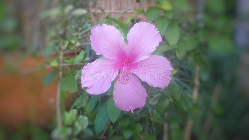 Pink hibiscus flowers in the garden. Pink hibiscus flowers garden natural stock images