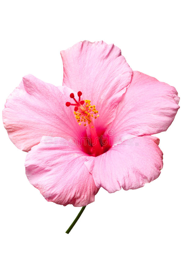 Pink hibiscus isolated royalty free stock images