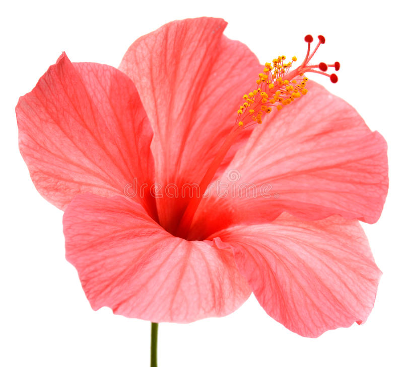 Pink hibiscus. Isolated on white background stock photography