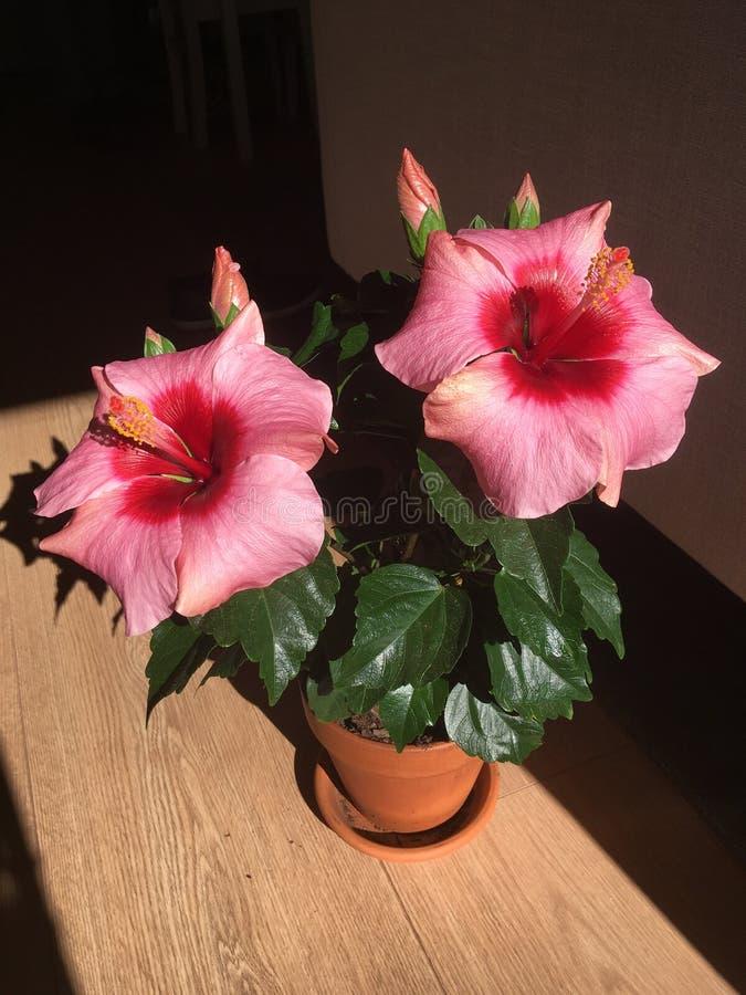 Pink hibiscus. Longiflora in terracotta pot royalty free stock images