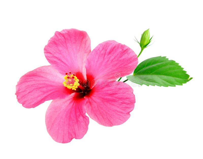 Pink Hibiscus. On white background royalty free stock photos