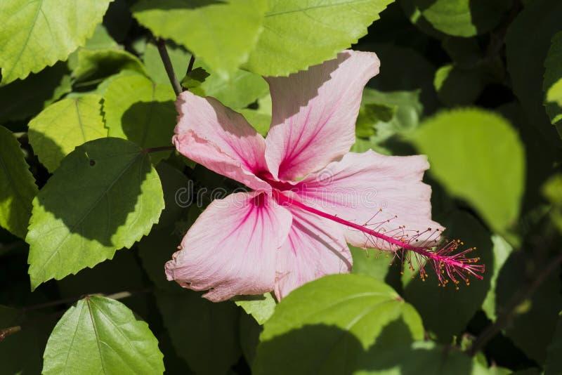 Pink hibiskusblomman arkivfoton