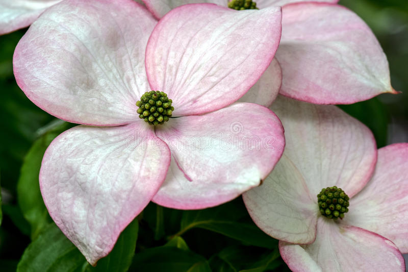 Pink Highlights, Dogwood Blossom. White Dogwood Blossom with pink highlights royalty free stock photos