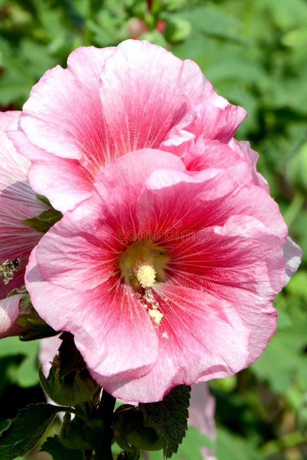 Pink Hollyhock (Alcea rosea L). stock photography