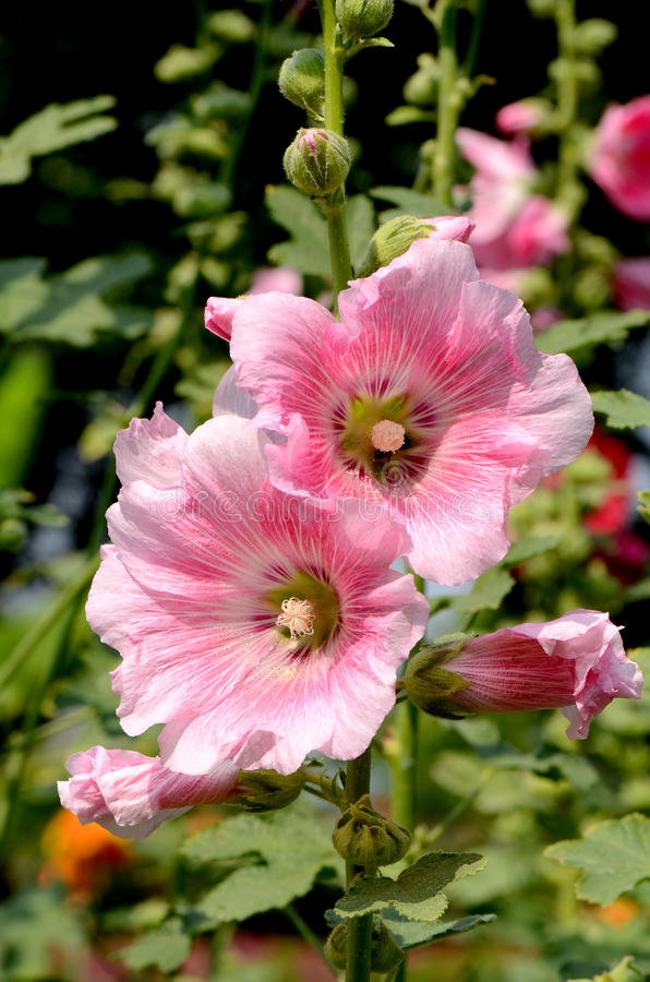 Pink Hollyhock (Alcea rosea L). royalty free stock image