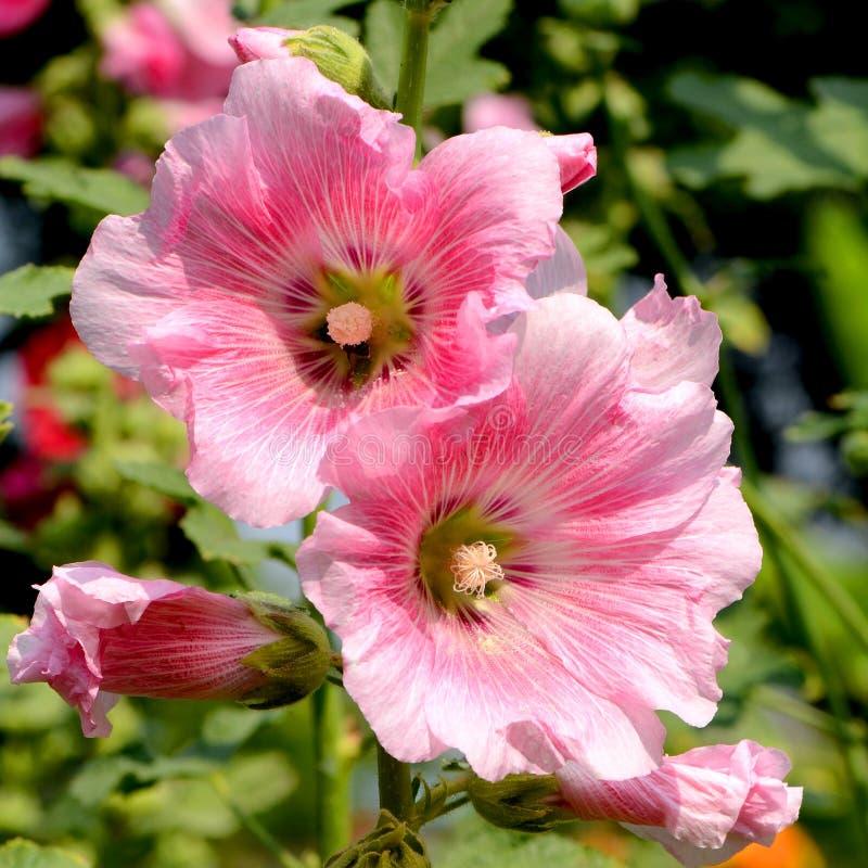 Pink Hollyhock (Alcea rosea L). royalty free stock photos