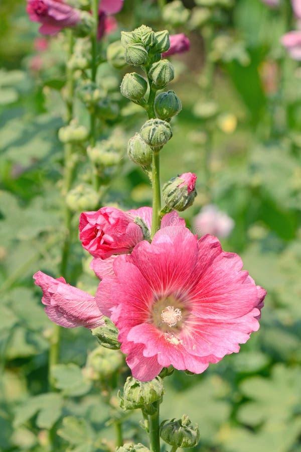 Pink Hollyhock (Alcea rosea L). stock photos