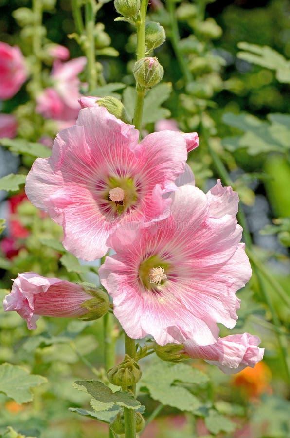 Pink Hollyhock (Alcea rosea L). stock photo