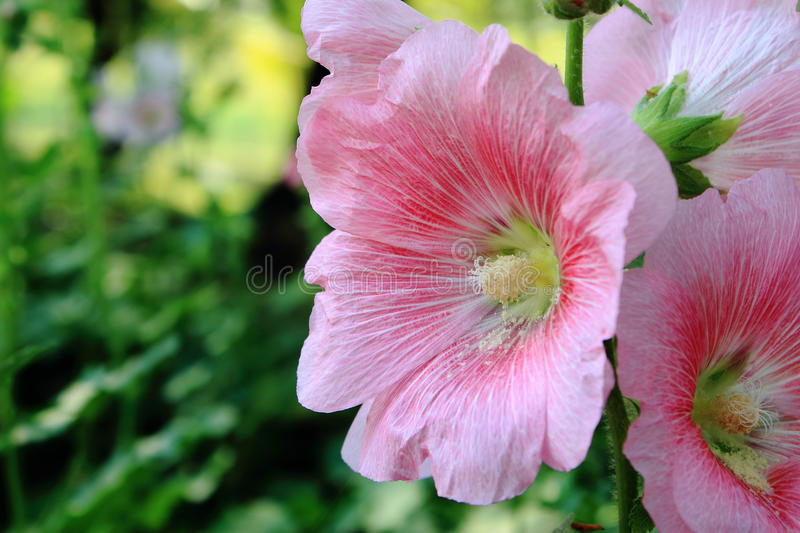Pink Hollyhock Flower royalty free stock images