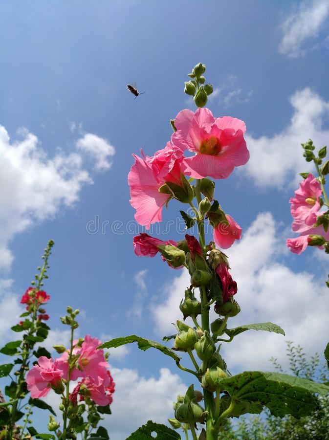 Pink Hollyhock flowers bloom in the garden. Alcea rosea. A bee flies over. Pink Hollyhock flowers bloom in the garden. Alcea rosea.  Above is a blue sky and a stock photography