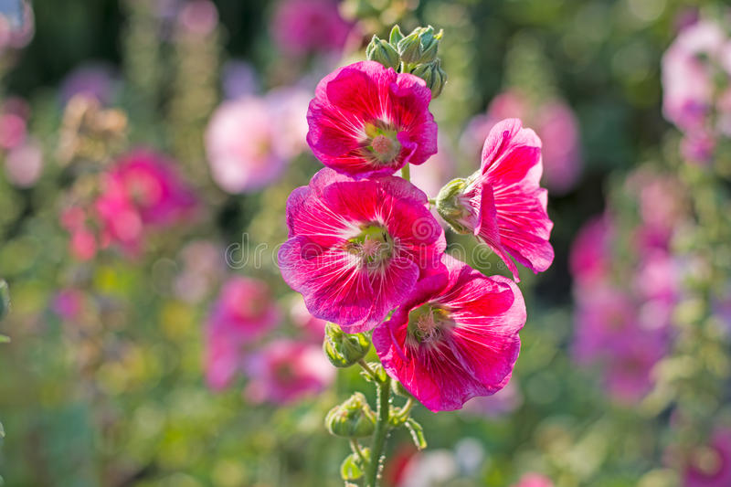 Pink Hollyhock Flowers royalty free stock photo