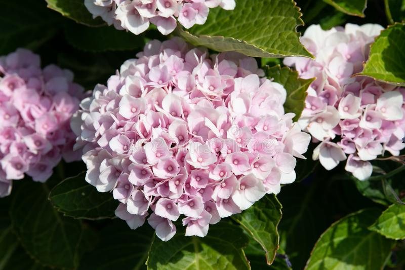 Pink Hortensia, rose hydrangea with small blossoms. Light pink colored hortensia - Hydragena, small blossoms stock image