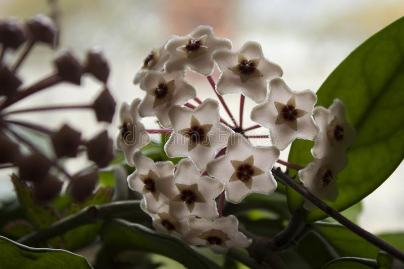 Pink Hoya carnosa flower. Close up detail of wax plant, sweet-smelling flowers, background.  royalty free stock photography