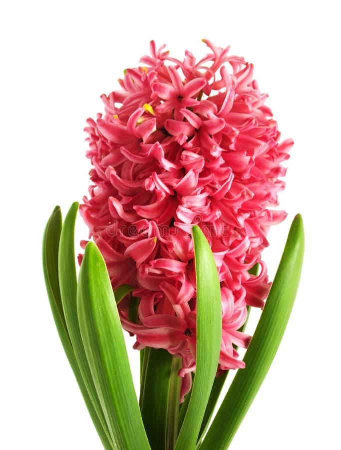 Free Pink Hyacinth Royalty Free Stock Photo - 18694055