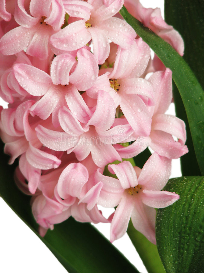 Pink hyacinth, close up royalty free stock images