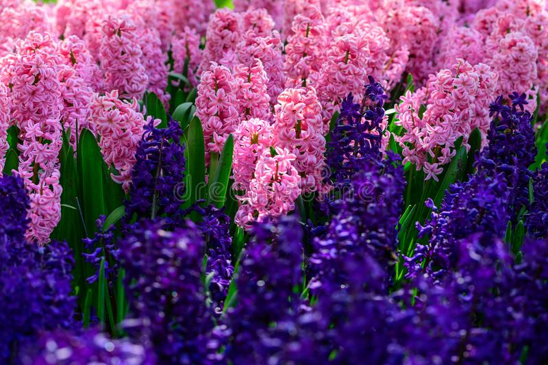 Pink hyacinth close up in Holland , spring time flowers in Keukenhof stock images