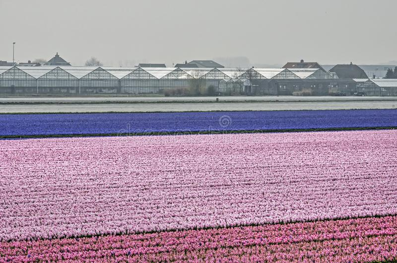 Pink hyacinth field and greenhouses. Hillegom, the Netherlands, April 2, 2019: field of pink and purple hyacinths with a row of greenhouses in the background royalty free stock photography