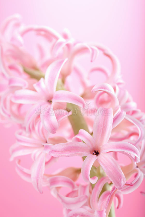 Pink hyacinth flower stock photography