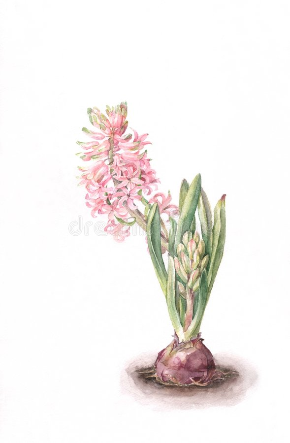 Pink Hyacinth Flower Watercolor Painting. Royalty Free Stock Images