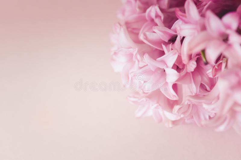 Purple hyacinth flowers on a pink backdrop. Top view and copy sp royalty free stock image