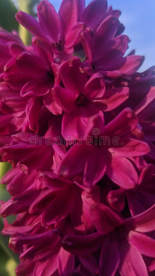 Pink Hyacinth In Full Bloom stock image